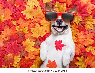 jack russell dog , lying on the ground full of fall autumn leaves, sleeping and lying on the back torso, wearing funny sunglasses