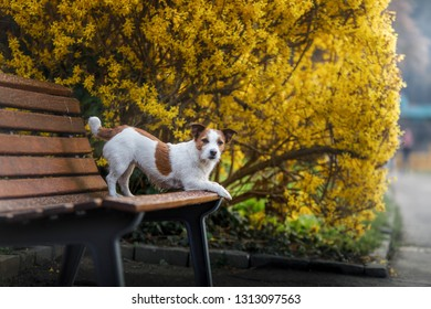 Jack Russell dog on a bench with flowers. Spring walk with a pet. Journey
