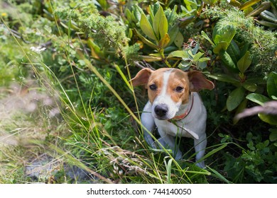 A Jack Russell dog on the grass