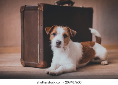 Jack Russell dog on a suitcase