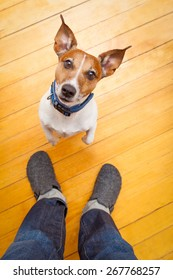 jack russell dog ready for a walk with owner begging, sitting and waiting ,on the floor inside their home