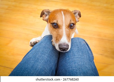 jack russell dog ready for a walk with owner or hungry ,begging on lap , inside their home