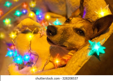 jack russell dog resting with fancy fairy lights on christmas holidays in bed