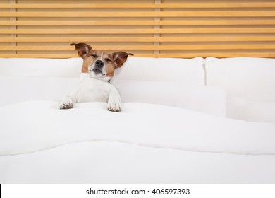 jack russell dog resting and sleeping , or suffering pain in bed in bedroom or hotel room