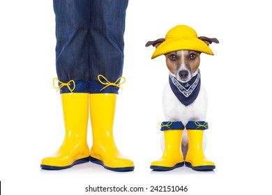 jack russell dog sitting and waiting to go for a walk with owner , prepared for rain and dirt, wearing rain boots,  isolated on white background