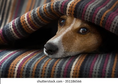 jack russell dog  sleeping under the blanket in bed daydreaming sweet dreams