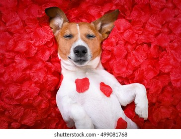 jack russell  dog sleeping while lying on bed with valentines petal roses as background