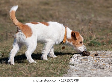 Jack russell dog sniffing in the grass