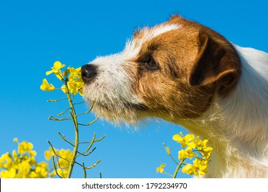 jack russell dog sniffing yellow wraps flowers outside