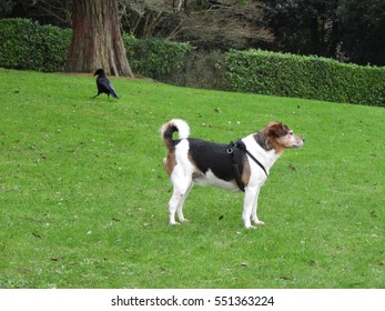 jack russell dog standing on  green grassy slope in park