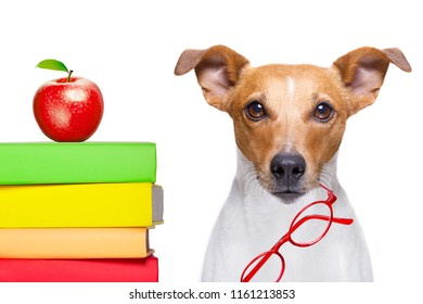 jack russell dog with   a tall stack of books ,very smart and clever , isolated on white background