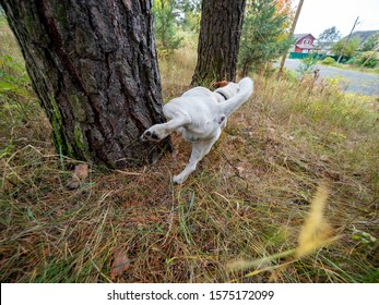 jack russell dog urinating pee on tree trunk and grass in park outdoors to mark territory in public place