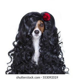 jack russell dog  for valentines day in love with rose in hair  with black long curly hair  wig , looking crazy , silly, funny dumb, isolated on white background