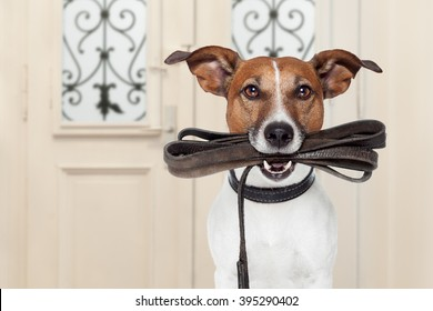 jack russell dog  waiting a the door at home with leather leash in mouth , ready to go for a walk with his owner