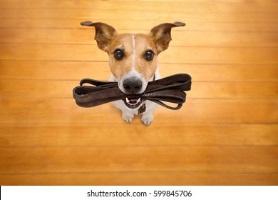 jack russell dog waiting for owner to play  and go for a walk with leash in mouth , isolated on wood background