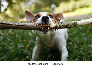 Jack russell fight over stick on the grass in the park