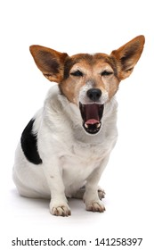 Jack Russell on a white background