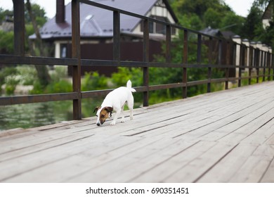 Jack Russell on wooden bridge, countryside