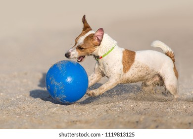 Jack russell play in blue ball in sand