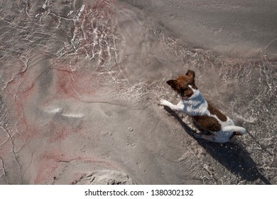 Jack Russell playing Elafonisi beach Crete pink sand