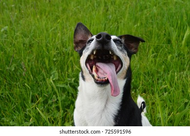 JACK RUSSELL PLAYING OUTSIDE SMILES