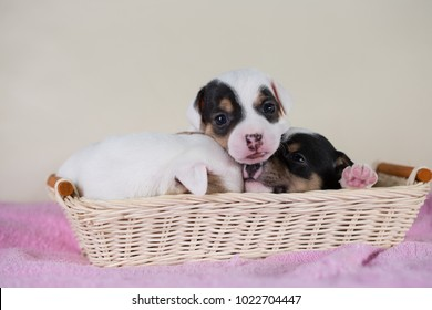 Jack Russell puppies four weeks old
