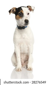 Jack russell puppy (5 months old) in front of a white background