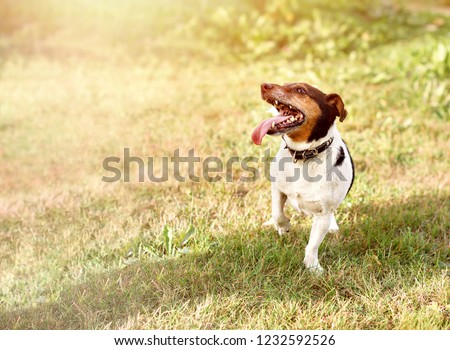 Jack Russell Puppy Dog Running Towards Stock Photo Edit Now