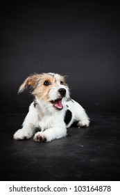 Jack russell puppy isolated on black background. Studio shot.