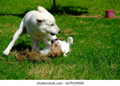 Jack Russell Puppy Millie and Siberian Husky Puppy Miska, Playing Together In The Back Yard - Shutterstock ID 1679159050