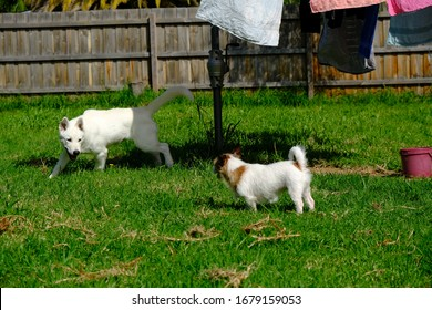 Jack Russell Puppy Millie and Siberian Husky Puppy Miska, Playing Together In The Back Yard - Shutterstock ID 1679159053
