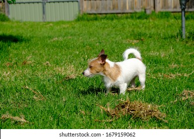 Jack Russell Puppy Millie and Siberian Husky Puppy Miska, Playing Together In The Back Yard - Shutterstock ID 1679159062