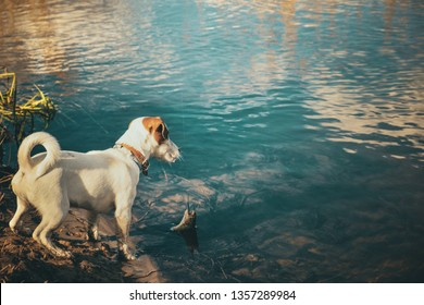 Jack Russell puppy on a fishing trip.