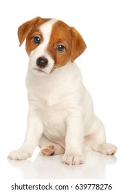 Jack Russell puppy sits on white background