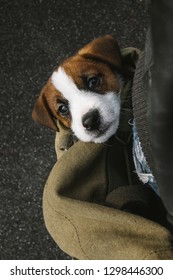 Jack Russell puppy traveling in a bag.