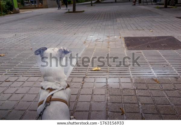 Jack Russell. Sick dog on street