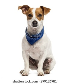 Jack Russell sitting in front of a white background
