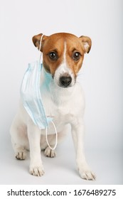 Jack russell  or small dog breeds  sitting on white background and wearing mask for protect a pollution or disease.