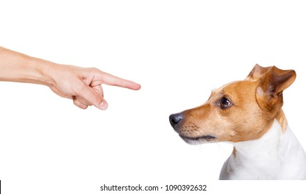 jack russell, terreir dog  being punished by owner for very bad behavior , with finger pointing at dog