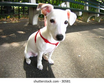 Jack Russell Terrier (2 of 2 Photo)