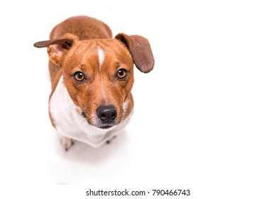 Jack Russell Terrier 3 years old, hair style smooth - Cute small little dog - isolated against white background - Dog is looking up - funny perspective