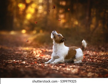 Jack Russell Terrier in the autumn forest