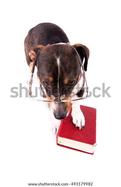 Jack Russell Terrier with a book on a white background