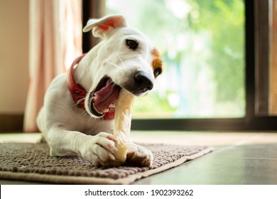 Jack russell terrier chewing bone in the living room.Funny dog eating food.