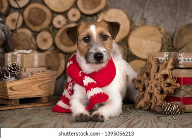 Jack Russell Terrier Christmas dog