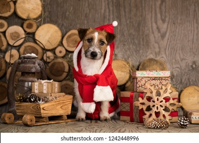 jack russell terrier in christmas gnome costume