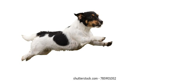 Jack Russell Terrier Dog 2 years old - cute small dog isolated against white background Hair style - rough