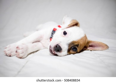 jack russell terrier dog  in bed , having a siesta and relaxing