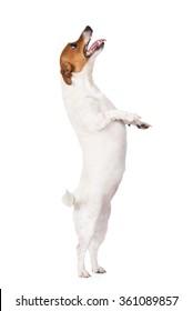 jack russell terrier dog begging on white