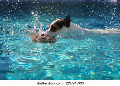 8e96f182e37 Jack Russell Terrier dog biting into submerged pineapple while swimming in  outdoors swimming pool